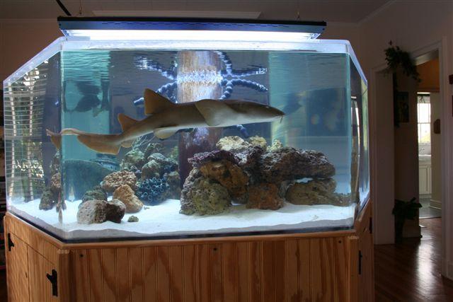 freshwater shark tank