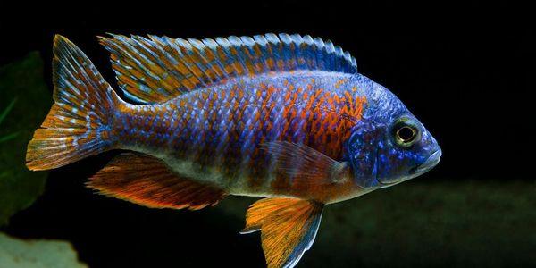Colorful Cichlid