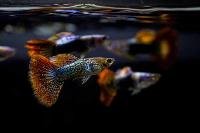 Cold Water Aquarium Fish