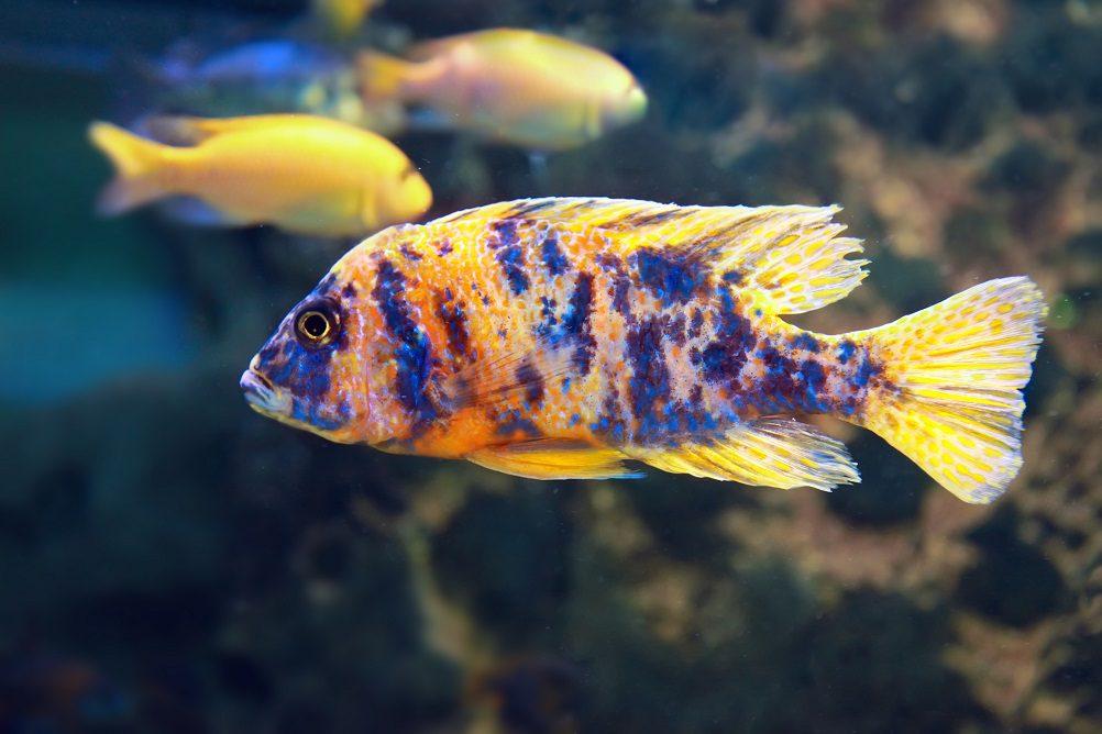 cichlids colors