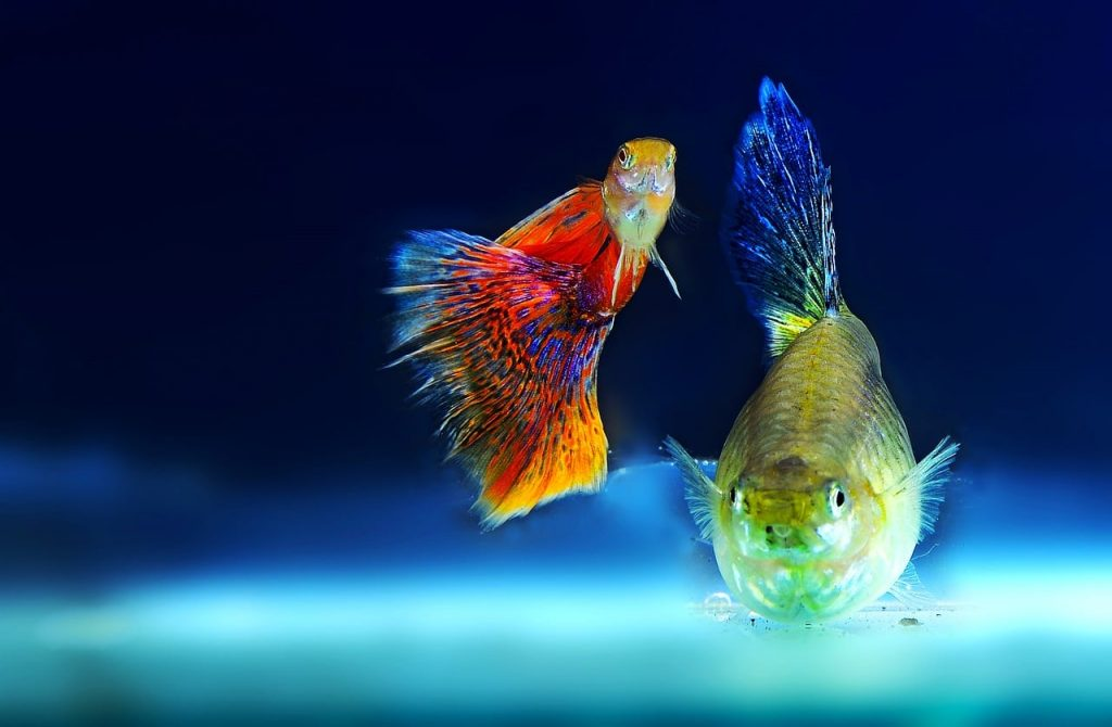 Mollies Living with Tetras