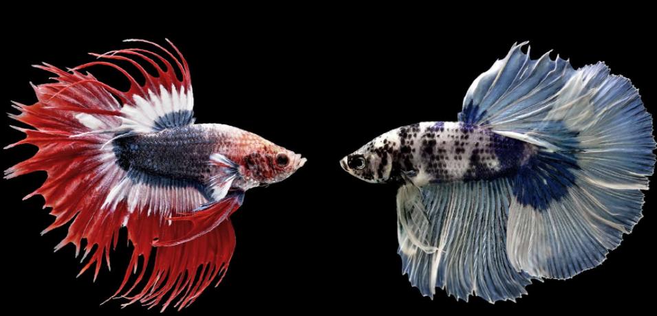 Betta fish Signs