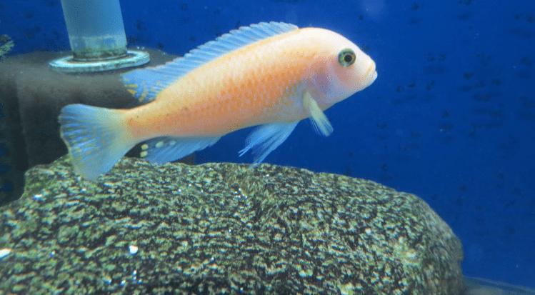 Cichlid Turning White