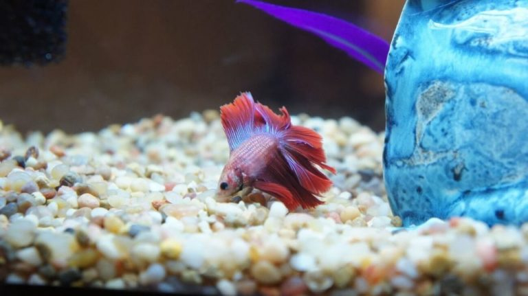 Betta Fish Laying at Bottom of Tank