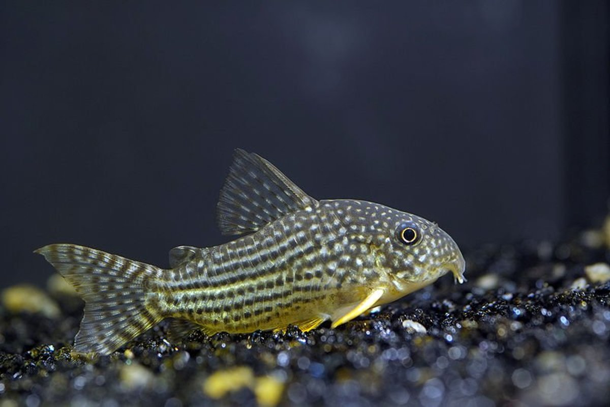 Freshwater Aquarium Catfish