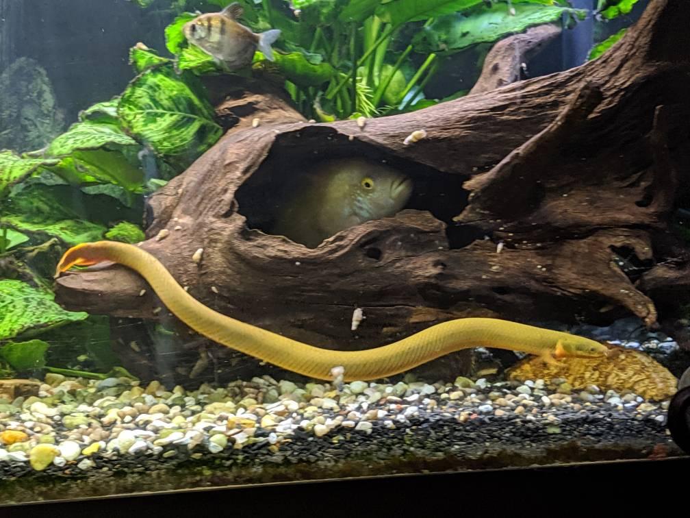 reedfish, ropefish, or snakefish